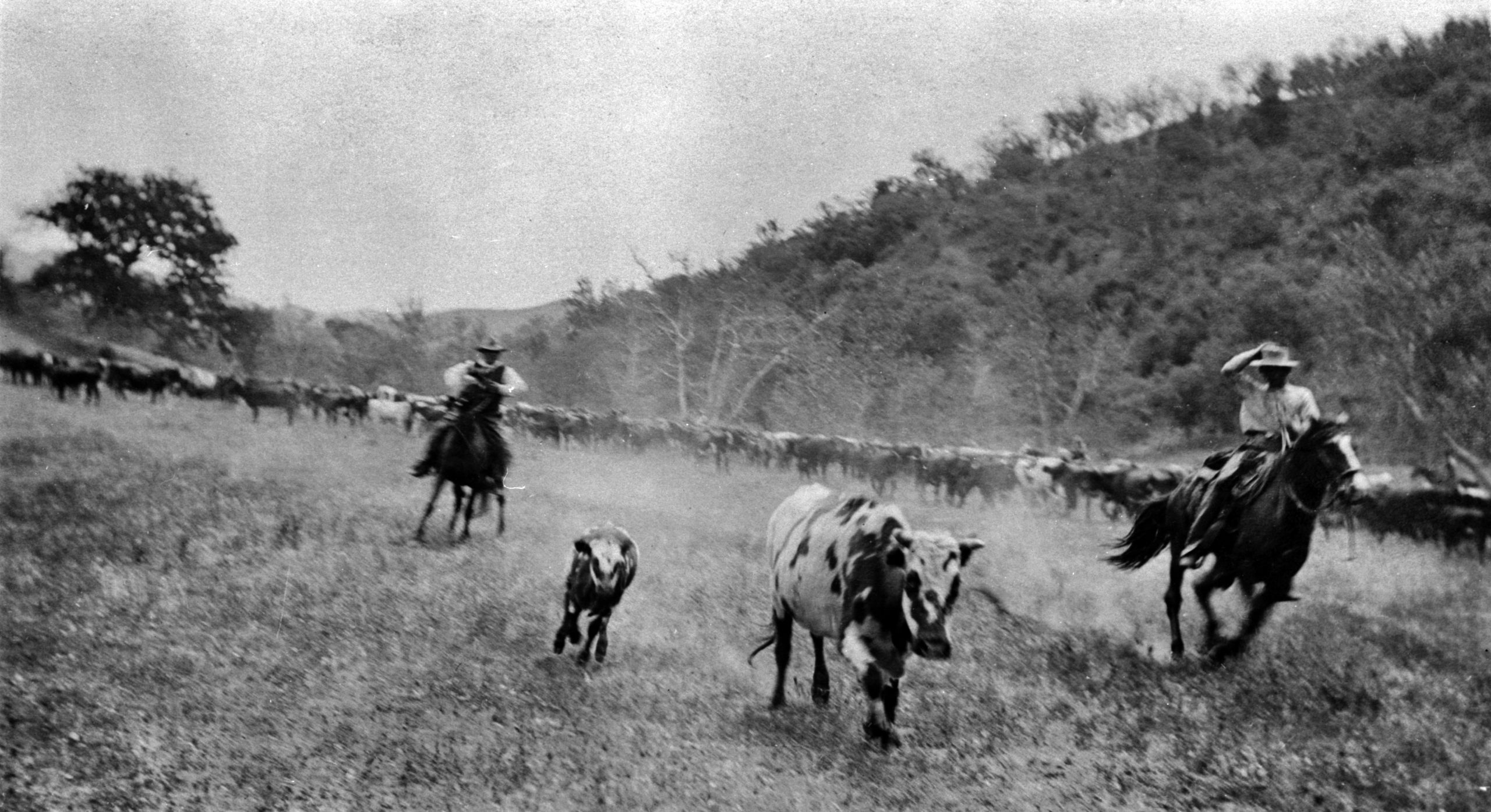 Rounding up the cattle in 1875